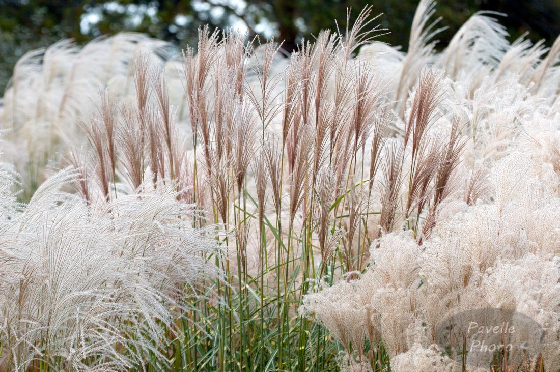 White Grasses