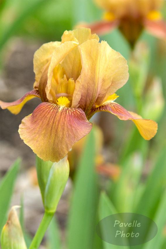 """""""My Keepsake"""" Iris"""