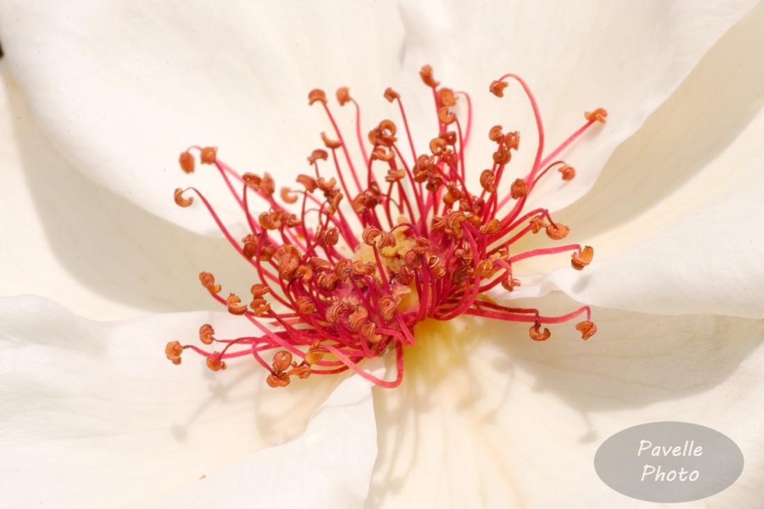 White Wings Tea Rose