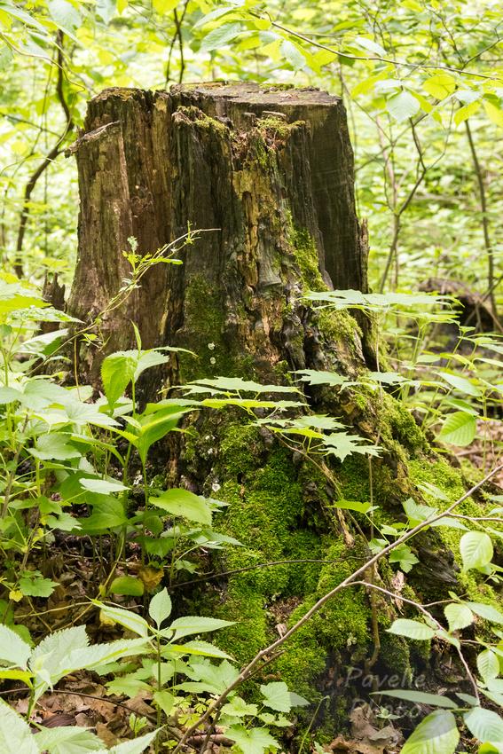 Devil's Tree Stump
