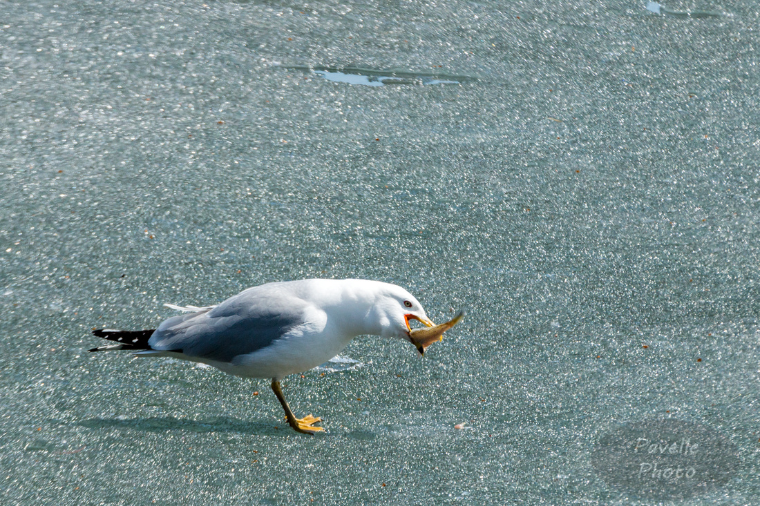 Ring-Billed Gull with Fish