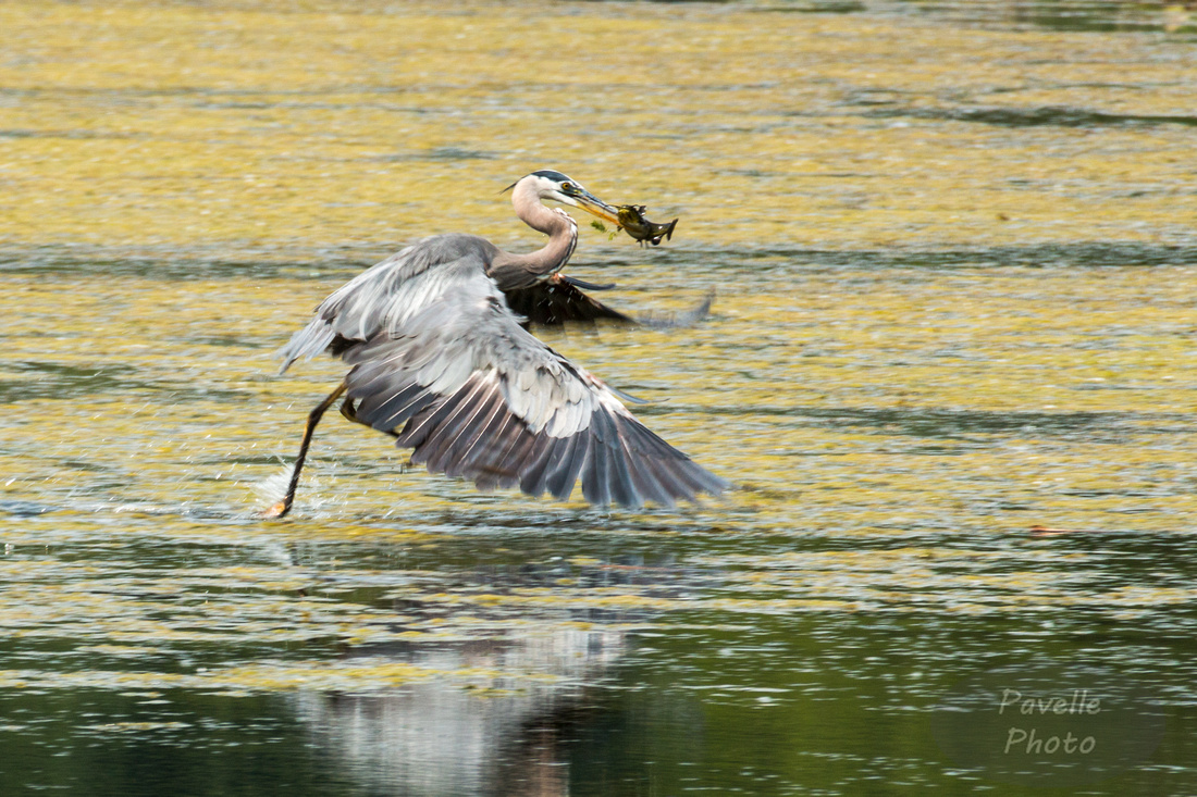 Great Blue Heron with fish -1