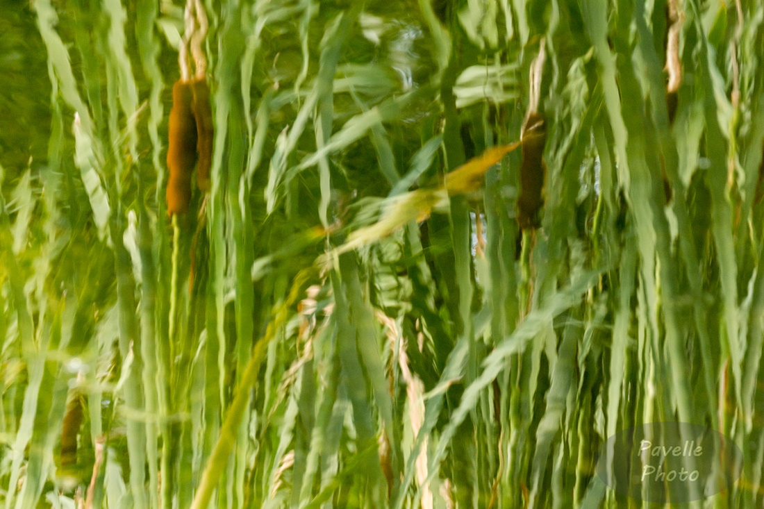 Cattail Reflections