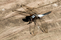 Chalk=fronted Corporal dragonfly
