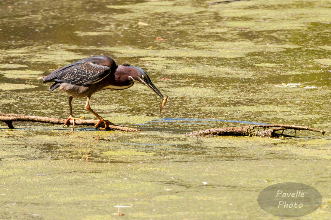 Fishing Green Heron