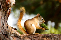 Red Squirrel with Pinecone
